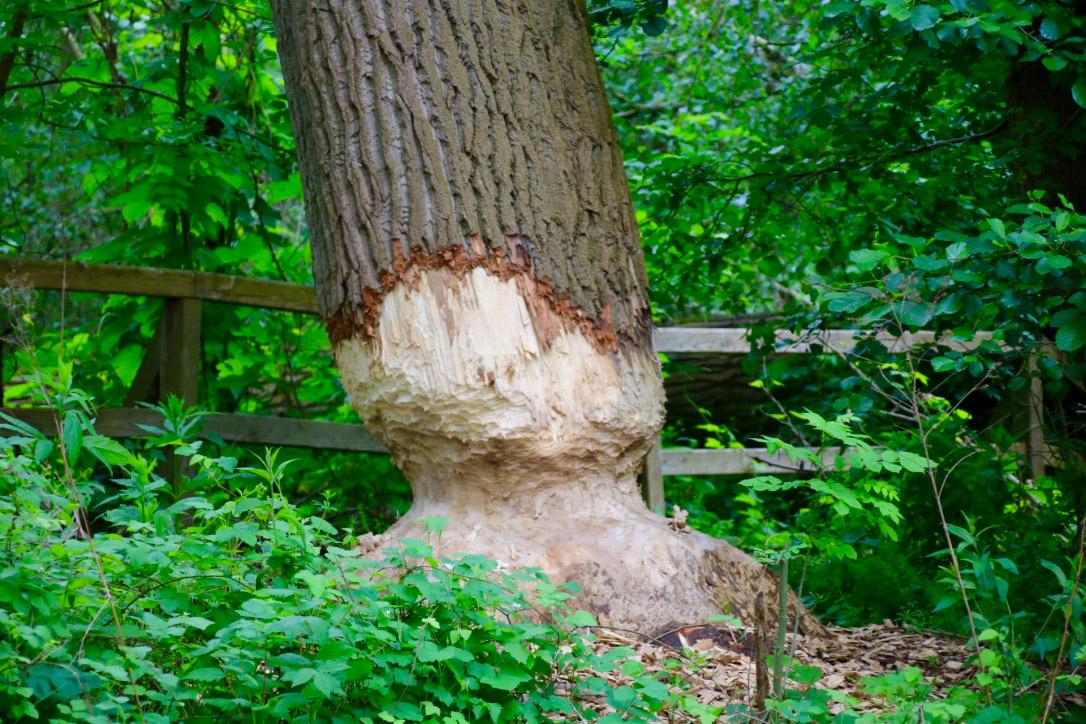 Biber-hat-Baum-angefressen