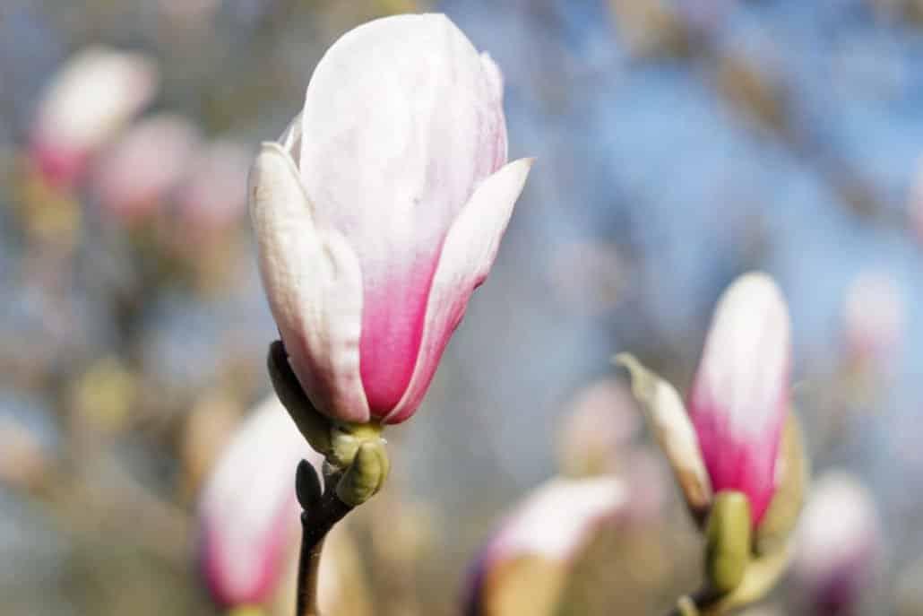 Magnolienblüte Wochenende in Bildern
