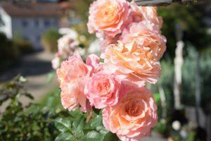 Rosen Herbst