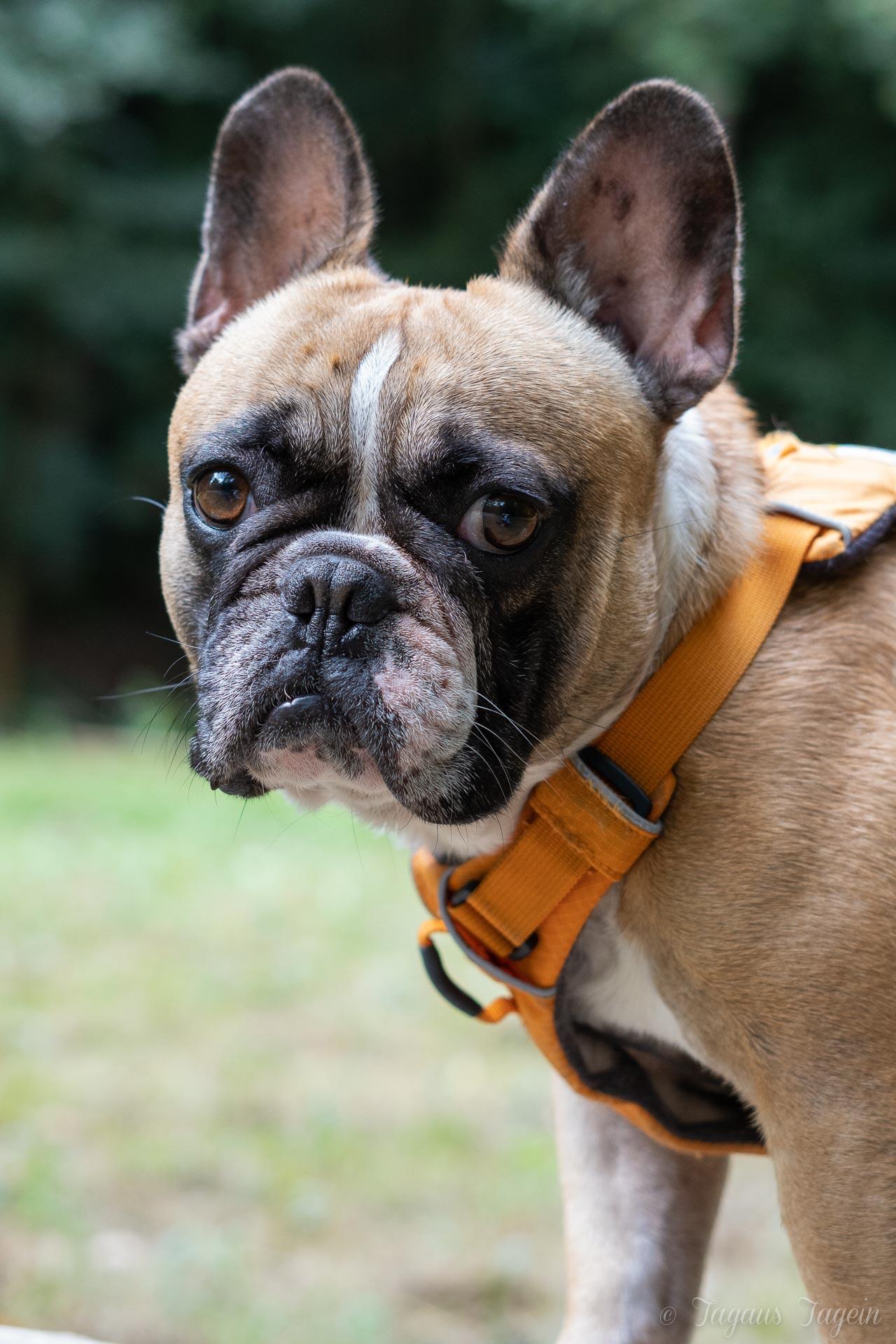 Futterproblem Französiche Bulldogge